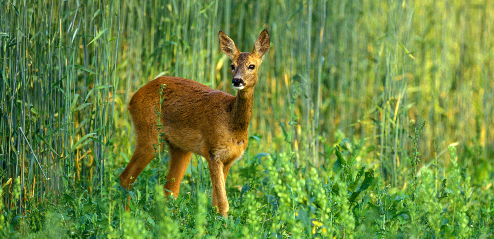 A roe deer yearling
