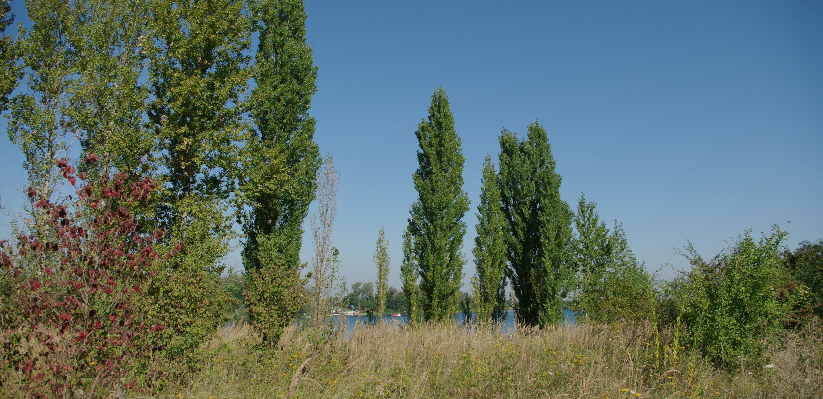 Poplar trees along the lake 'Hufeisensee' in Halle Kanena