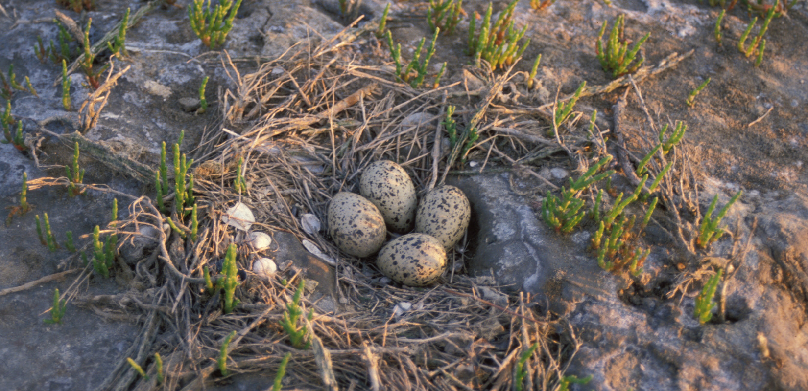 Herring gull nest with three eggs